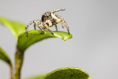 Portrait of a Jumping Spider Royalty Free Stock Image