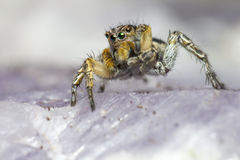 Portrait of a Jumping Spider Stock Images