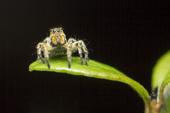 Portrait of a Jumping Spider Royalty Free Stock Photography