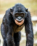 The portrait of juvenile Bonobo. The Bonobo Pan paniscus, called the pygmy chimpanzee. Democratic Republic of Congo. Africa Stock Photos