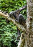 The portrait of  juvenile Bonobo on the tree in natural habitat. Royalty Free Stock Photography