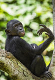 The portrait of  juvenile Bonobo on the tree in natural habitat. Green natural background. The Bonobo ( Pan paniscus) Stock Photos