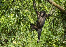 The portrait of juvenile Bonobo on the tree in natural habitat. Green natural background. The Bonobo ( Pan paniscus) Royalty Free Stock Photo