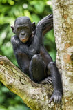 The portrait of juvenile Bonobo on the tree in natural habitat. Green natural background. The Bonobo ( Pan paniscus) Stock Photo