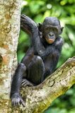 The portrait of juvenile Bonobo on the tree in natural habitat. Green natural background. The Bonobo ( Pan paniscus) Royalty Free Stock Images