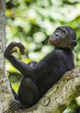 The portrait of juvenile Bonobo on the tree in natural habitat. Green natural background. The Bonobo ( Pan paniscus) Stock Photography