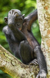 The portrait of juvenile Bonobo on the tree in natural habitat. Green natural background. The Bonobo ( Pan paniscus) Stock Images