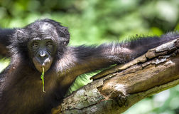 The portrait of  juvenile Bonobo on the tree in natural habitat. Green natural background. Stock Photos
