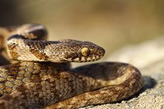 Portrait of juvenile cat snake Stock Photo