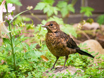 Portrait of juvenile common blackbird, Turdus merula, in garden Royalty Free Stock Photos