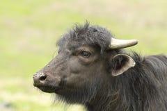 Portrait of juvenile domestic  black buffalo. Portrait of juvenile domestic  black bufffalo with nose full of flies  Bubalus bubalis Stock Images