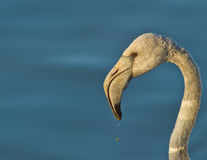 Portrait of a juvenile Greater Flamingo Stock Image