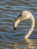 Portrait of juvenile Greater Flamingo Royalty Free Stock Images