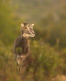 Portrait of juvenile Mouflon Royalty Free Stock Photo