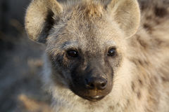 Portrait of a juvenile spotted hyena Royalty Free Stock Photography