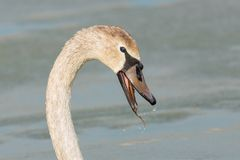 Portrait of a Juvenile Swan. Royalty Free Stock Photography