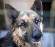 Portrait of a K9 Dog stock images