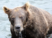 Portrait of Kamchatka brown bear in aqueous interior Royalty Free Stock Photo