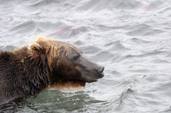Portrait of Kamchatka brown bear in aqueous interior Royalty Free Stock Photography