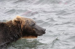 Portrait of Kamchatka brown bear in aqueous interior Royalty Free Stock Images