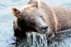 Portrait of Kamchatka brown bear in aqueous interior Royalty Free Stock Photos