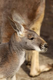Portrait of a kangaroo Stock Images