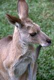 Portrait of kangaroo. With green grass background Stock Photos