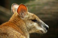 Portrait of Kangaroo Royalty Free Stock Photos