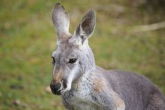 Portrait of a kangaroo. Macropus rufus Royalty Free Stock Image