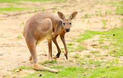 Kangaroo. Stock Image