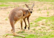Kangaroo. Stock Photos