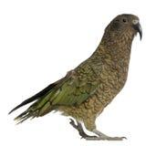 Portrait of Kea, Nestor notabilis, a parrot royalty free stock photo