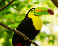 Portrait of Keel-billed Toucan bird Royalty Free Stock Photos