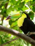 Portrait of Keel-billed Toucan bird Royalty Free Stock Image