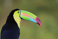 Portrait of a Keel Billed Toucan in Costa Rica. A Keel Billed Toucan  in the jungle of Costa Rica Royalty Free Stock Image