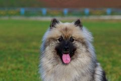 Dog breed keeshond. Portrait of keeshond breed dog close up on green grass background stock photography