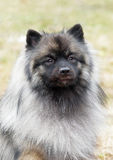 A portrait of a Keeshond (German Wolfspitz). A portrait of a purebred Keeshond (German Wolfspitz) on natural background stock photography