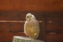 Portrait of kestrel bird sitting on a stump with pursed foot and basking in the sun. Stock Photos