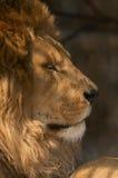 Portrait of a king. Portrait of a lion king Stock Photo