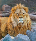 Portrait of the king of beasts lion Royalty Free Stock Photo