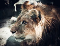 Portrait of the king of beasts lion Stock Photos