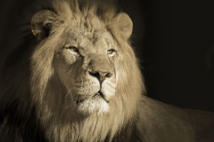 Portrait Of A King Male African Lion Stock Image