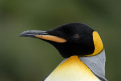 Portrait of King Penguin Stock Photos
