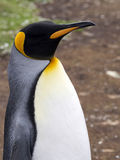 Portrait King penguin, Aptenodytes patagonicus, Volunteer point, Falkland Islands - Malvinas. The Portrait King penguin, Aptenodytes patagonicus, Volunteer point Royalty Free Stock Image
