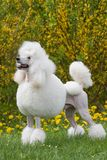 Portrait of King size white poodle dog Stock Photo