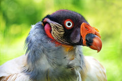 Portrait of a King Vulture. Sarcoramphus papa Royalty Free Stock Images