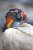 Portrait of a king vulture Sarcoramphus papa or Zopilote Rey Stock Photo