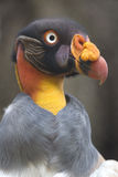 Portrait of a king vulture or Zopilote Rey Royalty Free Stock Images