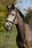 Portrait of Kinsky horse with bridle in autumn Royalty Free Stock Photography