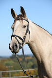 Portrait of Kinsky horse with bridle in autumn Stock Photography
